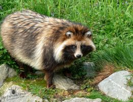 Raccoon Dog - Nyctereutes Procyonoides by TheFunnySpider