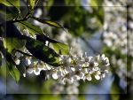 Bird-cherry tree  blossoms... by Yancis