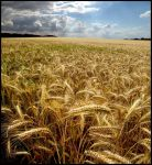 Fields of Gold... by MichiLauke