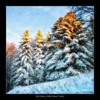 Natural Christmas Trees by Marcello-Paoli