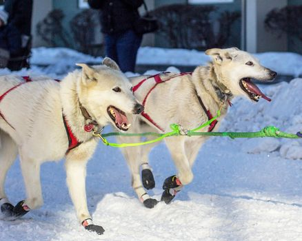 Sled-Dogs V by MkshftChrstian