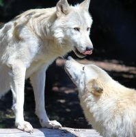 Alpha and Beta Wolves by cindy1701d