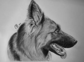 My love, precious german shepherd Bella by MariaSkyba