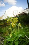 Cowslips, Silwood Park by BiodiVersitY