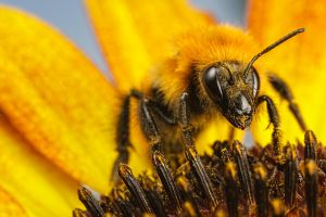 Bumblebee on a Sunflower I by dalantech