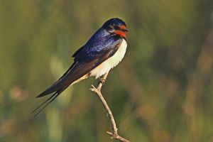 Sitting pretty - Barn Swallow by Jamie-MacArthur