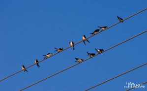 Swallows by Maltese-Naturalist