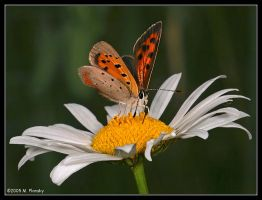 Streak on a Daisy by mplonsky