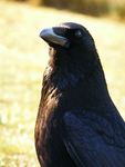 Portrait of a Raven by B2BK