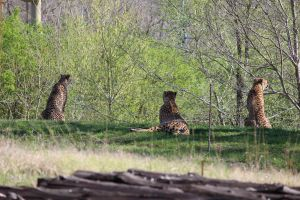 Cheetahs watching animals below by durmonkee