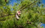 Formosan Rock Macaque by BlueNorthPhotography