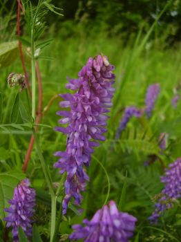 Tufted Vetch by Pentacle5