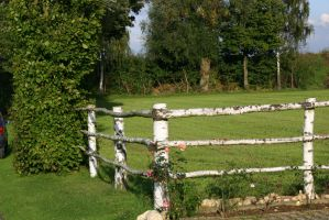 Cross Country Fence Roses Birch Stock by LuDa-Stock