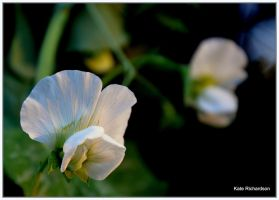 Snow pea flowers by Purple-Dragonfly-Art