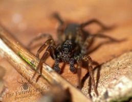 Cute Wolf Spider in the Forest by TheFunnySpider