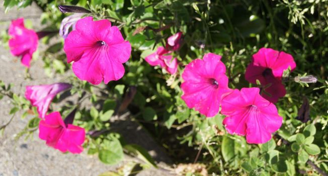 Pink Morning Glories by Danarchy84