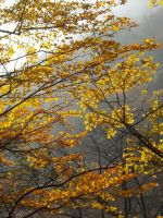 Golden leaves in the mist by TinyWild