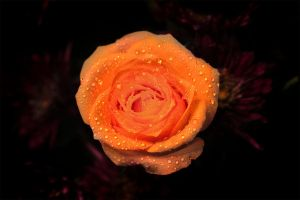O, Yellow Rose 2 by Shanibelle