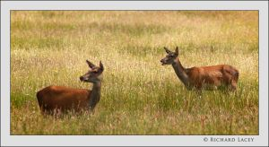 Red Deer in Killarney by RichyX83