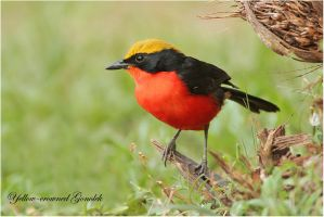 Yellow-crowned Gonolek - AKA Barbury shrike by Jamie-MacArthur