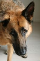 German Shepherd 4 by arzub223