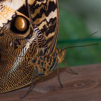 Brown Butterfly 001 - Detail by LordGuardian