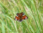 Red peacock butterfly by Everild-Wolfden