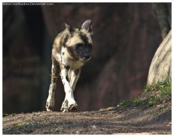 African Wild Dog - Pups 024 by ShineOverShadow