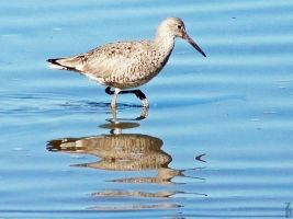 Willet... by ZoPteryx