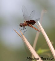 Red Saddle back dragonfly by Aries18o18