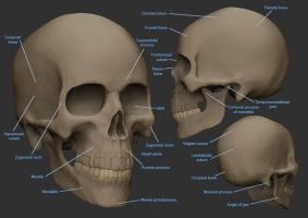 Anatomy Workshop: Skull by rickystinger88