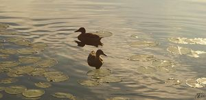 Duck couple by nordic-man
