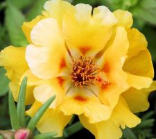 Yellow Moss Rose by craftworker