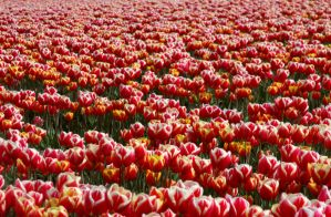 Red and White-Yellow Tulips by Photos-By-Michelle