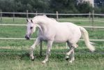 Grey Warmblood Mare Graceful Bow Trot by LuDa-Stock