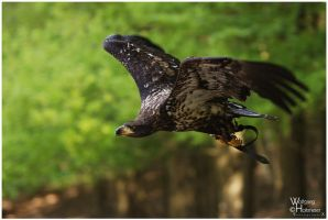 Juvenile Bald Eagle III by W0LLE
