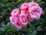 Pink Rose Clump 2 by MahniAliceSkaggs