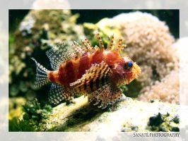 Lionfish by Sanate