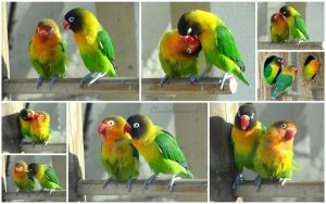 Kiss me if you can - by 2 adorable lovebirds by Cloudwhisperer67