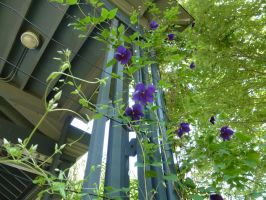 Purple Clematis by AndehDulac