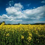 Rapeseed II by Dave-Ellis