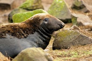 Bull Grey Seal by Shadow-and-Flame-86
