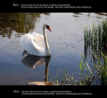 Swan 1 by Mithgariel-stock