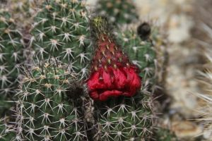 Strawberry Cactus. by wingsofdragons