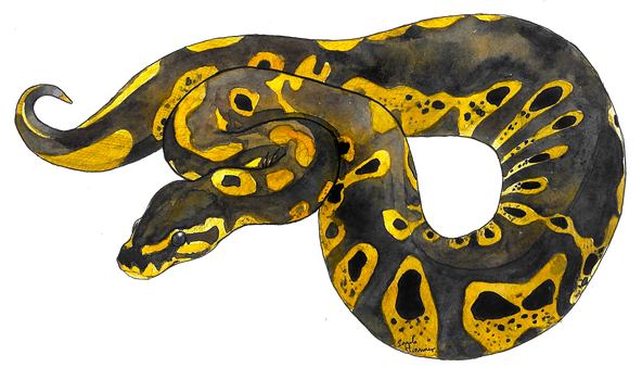 Ball Python by LalaLottle
