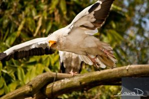 Egyptian Vulture by LauraID