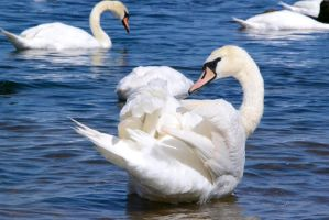 Young swan by NiviHolm