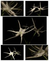 Spider Lilly by KristianS