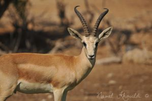 Male Sand Gazelle by NawalAckermann