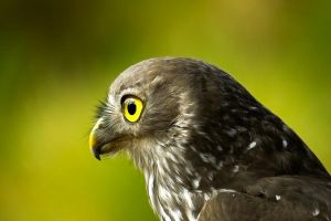 Bright Eyed Owl by waspo